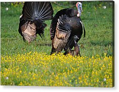 Turkey Love Acrylic Print by Todd Hostetter