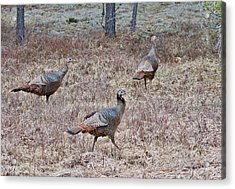Acrylic Print featuring the photograph Turkey Trio 1153 by Michael Peychich