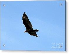Turkey Vulture Acrylic Print by David Lee Thompson