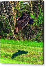 Turkey Vulture In Flight Acrylic Print by Chris Flees