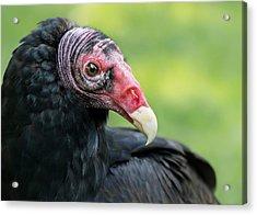 Turkey Vulture Acrylic Print by Jim Hughes