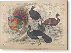 Turkeys Acrylic Print by Dreyer Wildlife Print Collections