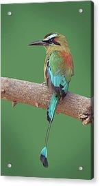 Turquoise-browed Motmot Acrylic Print