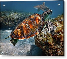 Turtle And Shark Swimming At Ocean Reef Park On Singer Island Florida Acrylic Print