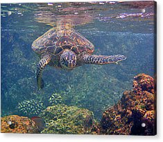 Turtle Approaching Acrylic Print by Bette Phelan