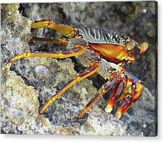 Turtle Bay Resort Watamu Kenya Rock Crab Acrylic Print by Exploramum Exploramum