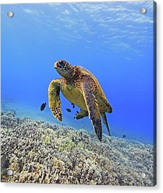 Turtle Acrylic Print by Chris Stankis