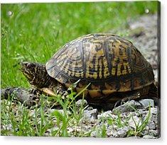 Turtle Crossing Acrylic Print