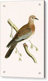 Turtle Dove Acrylic Print by English School
