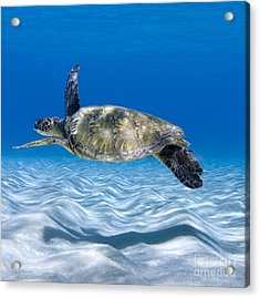 Turtle Flight -  Part 2 Of 3  Acrylic Print by Sean Davey