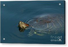 Turtle Floating In Calm Waters Acrylic Print