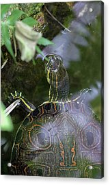 Acrylic Print featuring the photograph Turtle Getting Some Air by Raphael Lopez