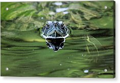 Turtle Head Acrylic Print by Karol Livote