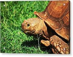 Turtle Acrylic Print by Lakida Mcnair