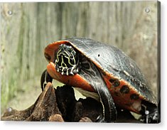 Turtle Neck Acrylic Print by David Stasiak