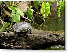 Turtle On Rock Acrylic Print