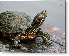 Turtle Portrait Acrylic Print by Denise McKay