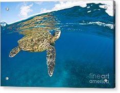 Turtle Taking A Breath Acrylic Print by Dave Fleetham - Printscapes