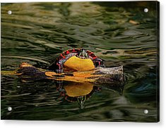 Turtle Taking A Swim Acrylic Print