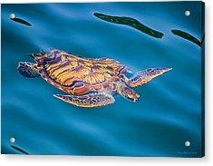 Turtle Up Acrylic Print