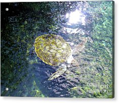Acrylic Print featuring the photograph Turtle Water Glide by Francesca Mackenney
