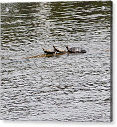 Turtles Acrylic Print by Christy Bearden
