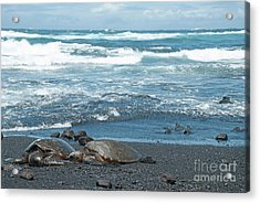 Turtles On Black Sand Beach Acrylic Print