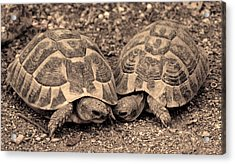 Acrylic Print featuring the photograph Turtles Pair by Gina Dsgn