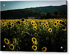 Tuscany - Sunflowers At Sunset Acrylic Print