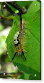 Tussock Moth Mohawk Acrylic Print