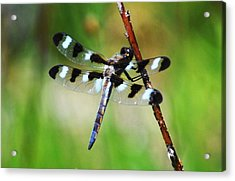Acrylic Print featuring the photograph Twelve Spotted Skimmer by Rodney Campbell
