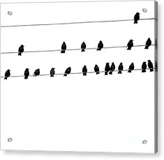 Twenty Blackbirds Acrylic Print