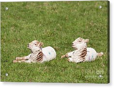 Twice As Cute Acrylic Print