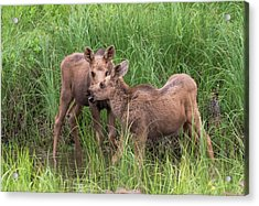 Twin Moose Playing In The Water Acrylic Print