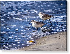 Twin Plovers Acrylic Print