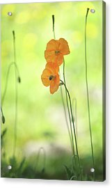 Twins. Orange Poppies Acrylic Print