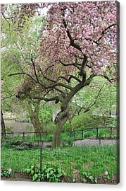 Twisted Cherry Tree In Central Park Acrylic Print