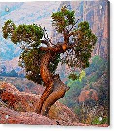 Twisted, Cedar Pine, Zion National Park, Utah Acrylic Print