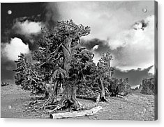 Twisted Old Bristlecone Pine Above Crater Lake - Oregon Acrylic Print by Christine Till