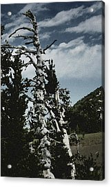 Twisted Whitebark Pine Tree - Crater Lake - Oregon Acrylic Print by Christine Till