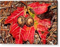 Two Acorns On Tatterd Maple Leaf Acrylic Print by Robert Morin