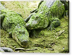 Two Alligators Acrylic Print by Garry Gay
