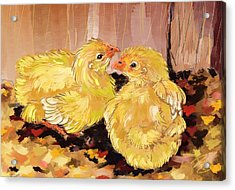 Two Baby Cornish Chicks Acrylic Print