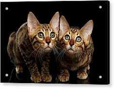 Two Bengal Kitty Looking In Camera On Black Acrylic Print by Sergey Taran