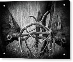 Two Bull Elk Sparring Acrylic Print