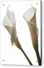 Two Calla Lilies Acrylic Print