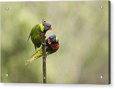 Two Captive Rainbow Lorikeets Acrylic Print by Tim Laman