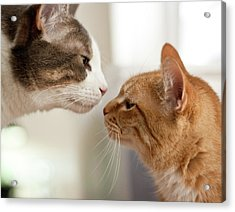 Two Cats Almost Kissing Acrylic Print by Caro Sheridan / Splityarn