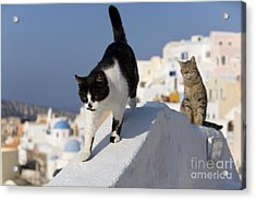 Two Cats, Cyclades Islands Acrylic Print by Jean-Louis Klein & Marie-Luce Hubert