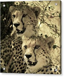 Acrylic Print featuring the photograph Two Cheetahs by Frank Stallone